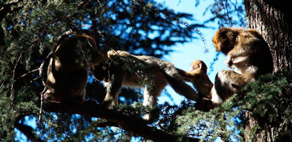 Monos en el bosque de cedros-en-Azrou