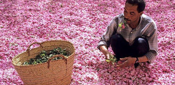 recoleccion-de-rosas